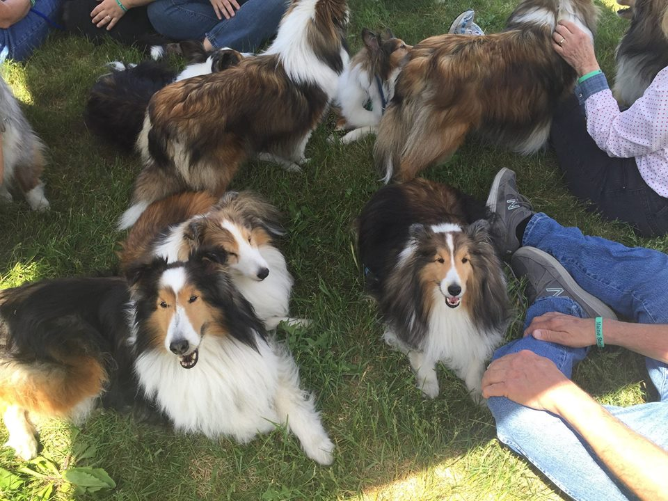 Fun time with Shelties